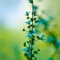 青い花 iPhone6壁紙