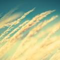 青い空と稲穂 iPhone6壁紙