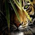 笹越しの虎 Android壁紙