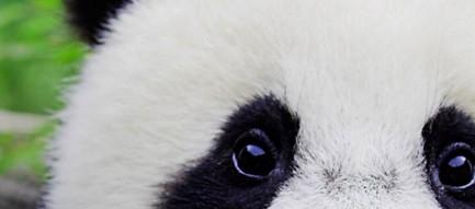 パンダのどアップ iPhone6壁紙