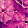 綺麗なピンクの花 iPhone6壁紙