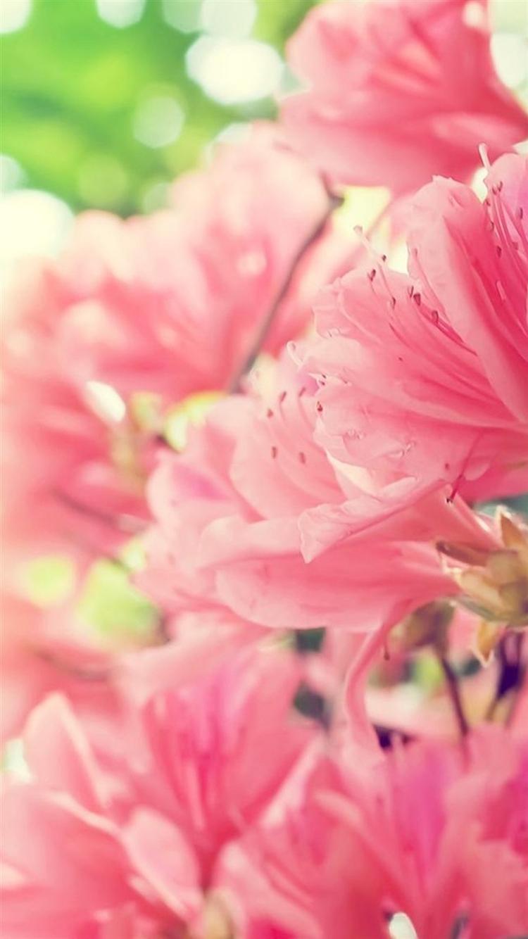 開花するピンクの花 iPhone6 壁紙