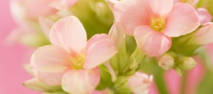 ピンクのかわいい花 iPhone6壁紙