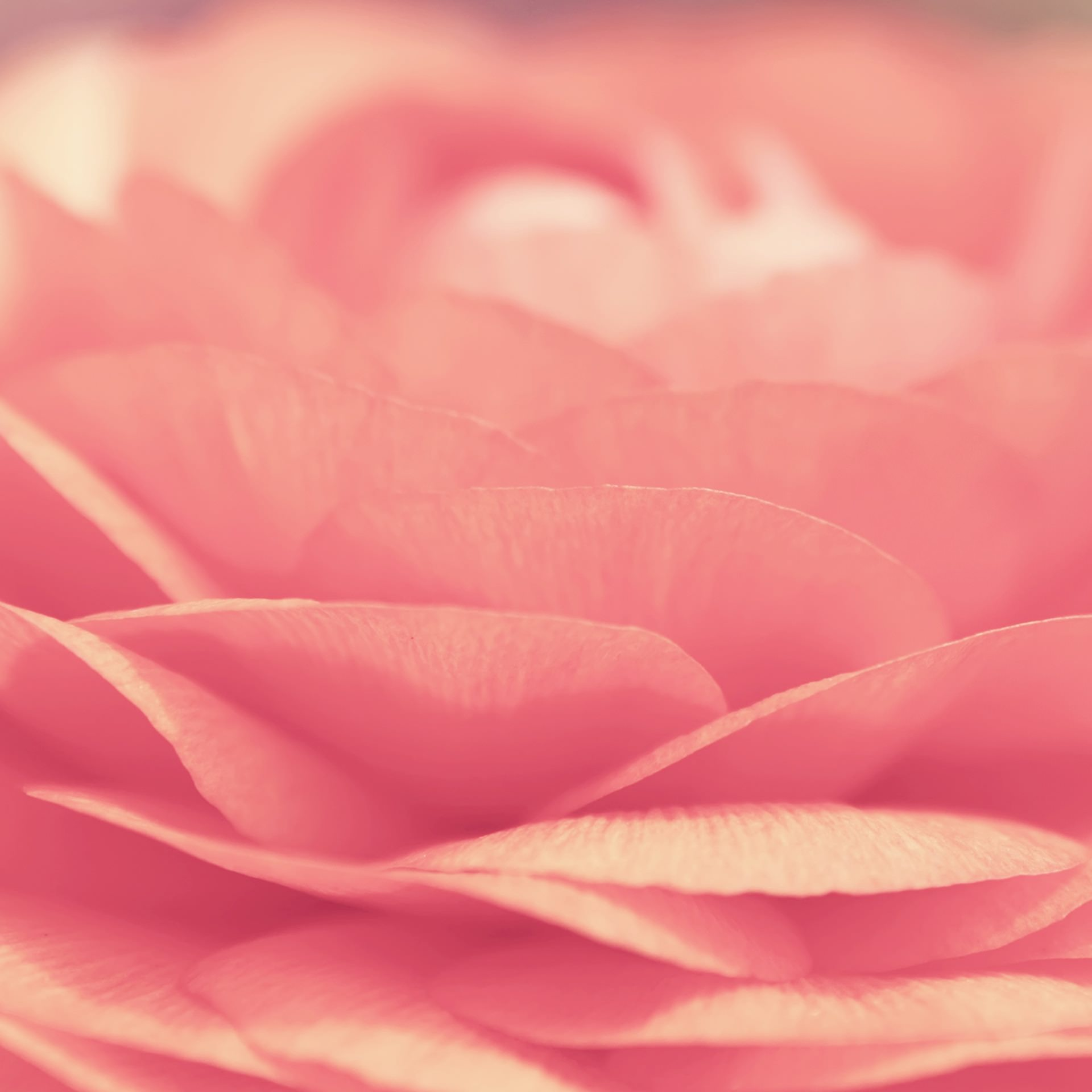 ピンクの薔薇の接写 Android壁紙(2160x1920)