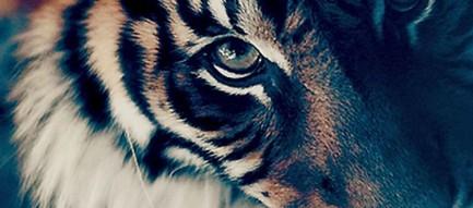 見上げる虎 iPhone6壁紙