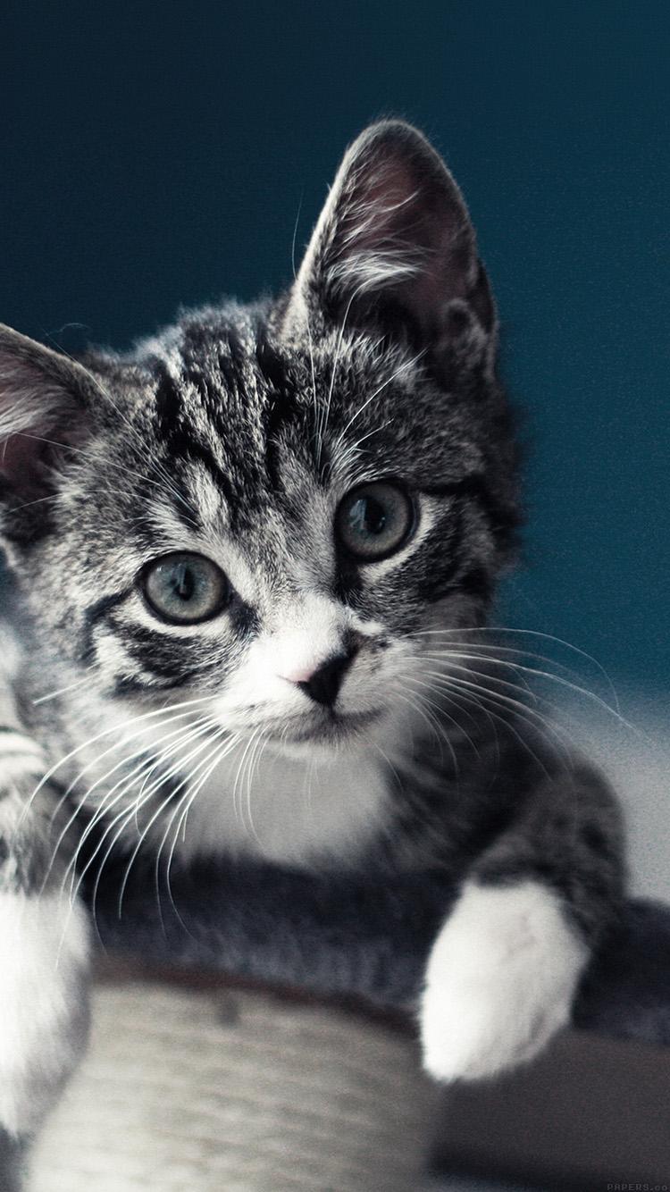 アメリカンショートヘア 猫 iPhone6壁紙