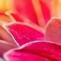 ピンクの花びら iPhone6壁紙