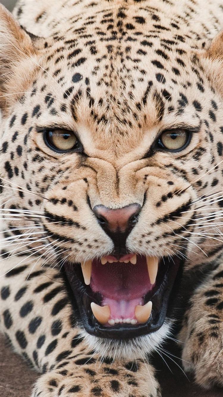 牙を剥く豹 iPhone6壁紙