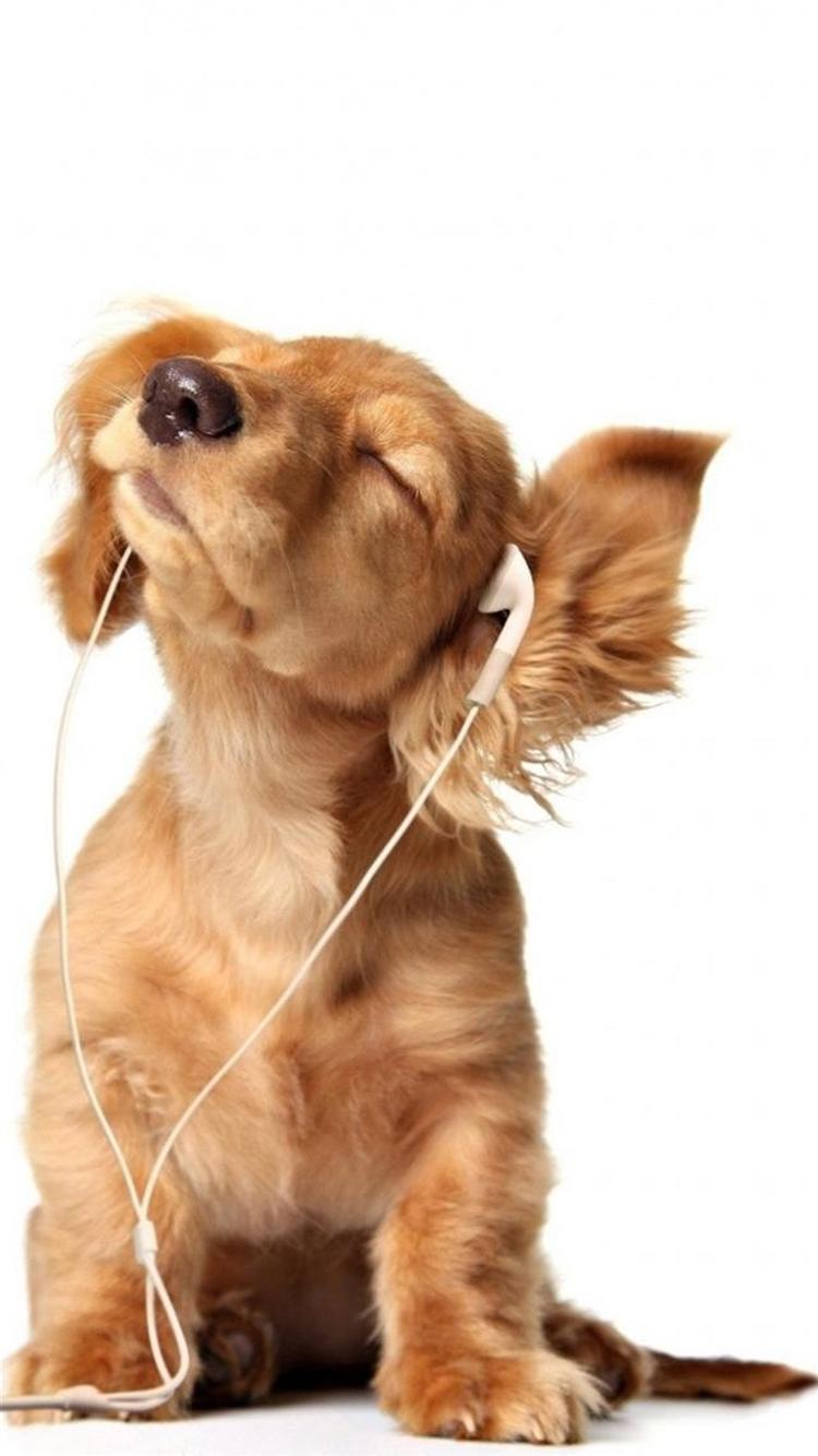 音楽を聴くダックスフント iPhone6壁紙