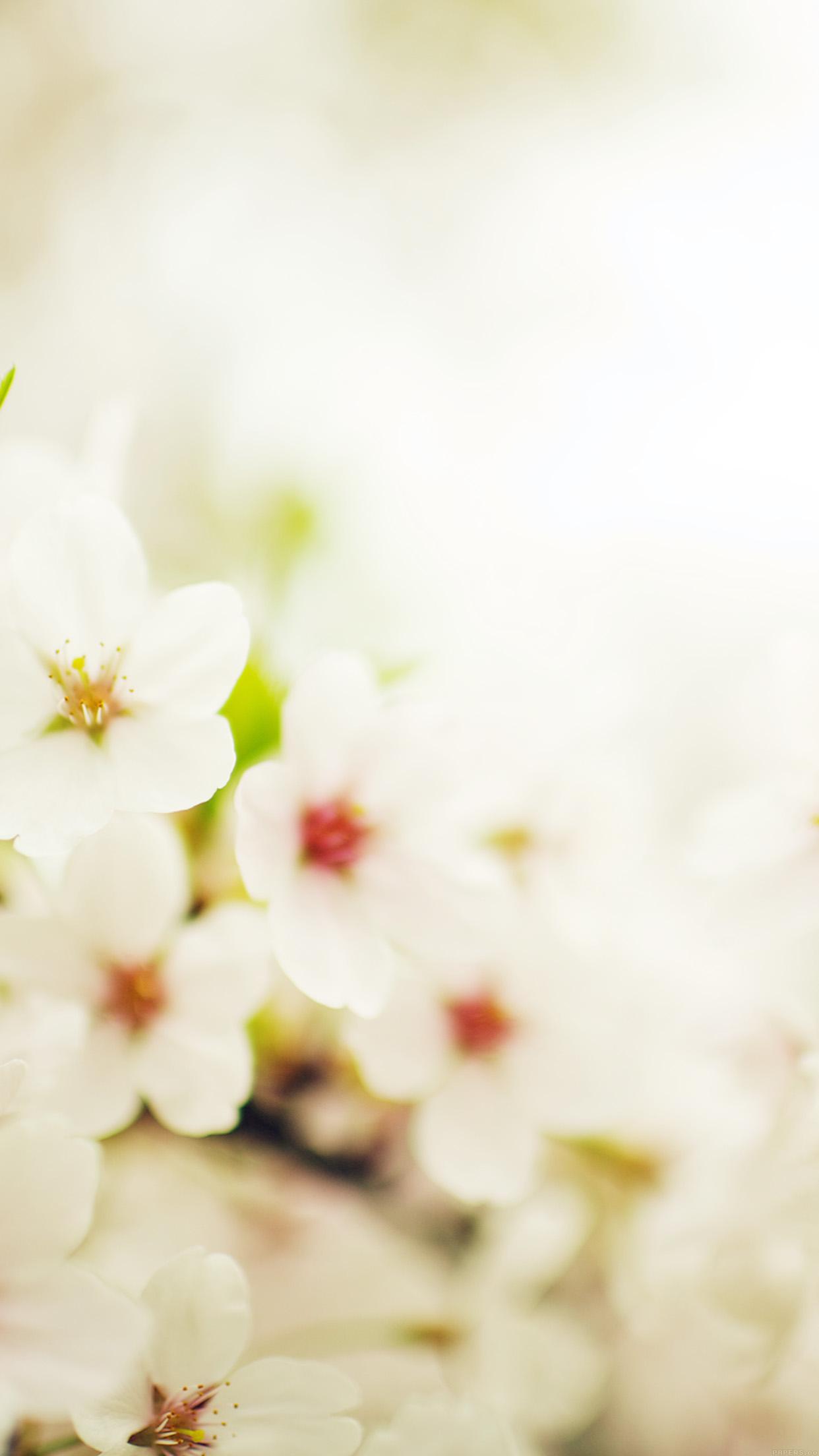 白いかわいい花 iPhone6 Plus壁紙
