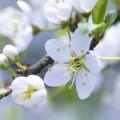 かわいらしい白い花 iPhone6壁紙