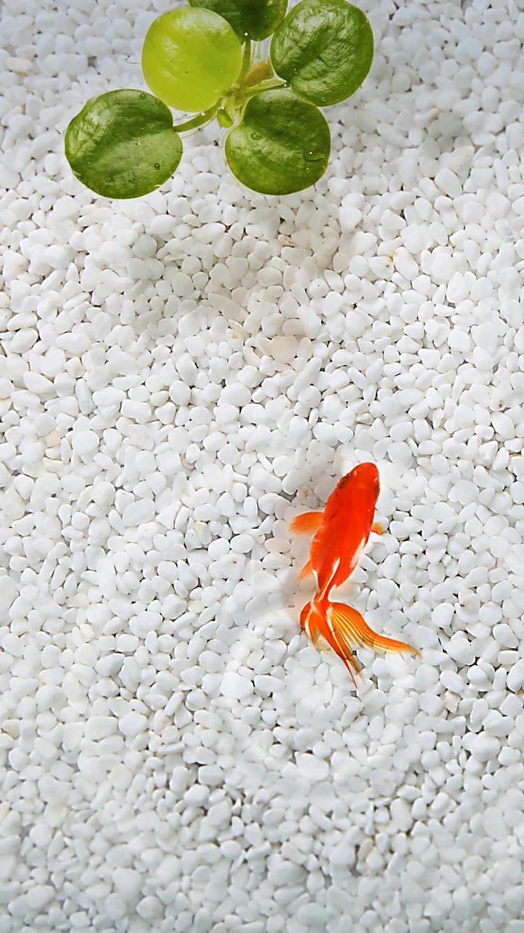 金魚 iPhone6壁紙