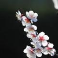 かわいい梅の花 iPhone6壁紙