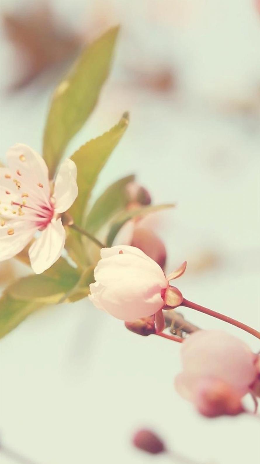 かわいい桜の花 iPhone6壁紙