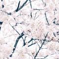 春 桜 ピンク 綺麗 iPhone6壁紙