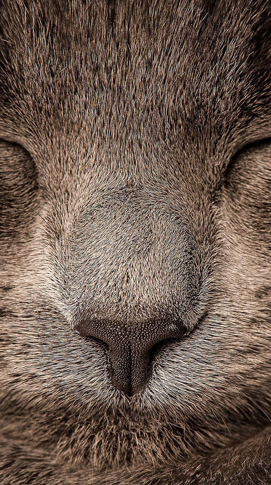 目をつぶった猫の顔 iPhone6壁紙
