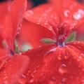 朝露のついた赤い花 iPhone6壁紙