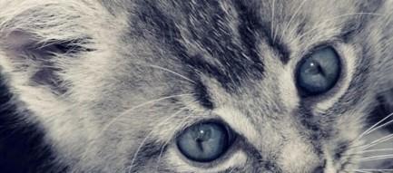 青い目の子猫 Blue Eyes Cat iPhone6壁紙