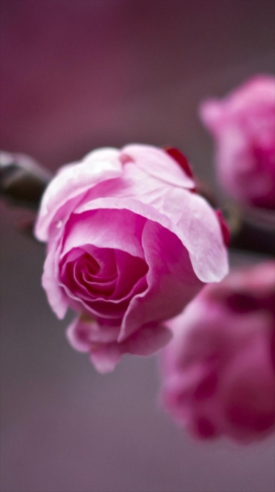 かわいいピンクの薔薇 iPhone6壁紙