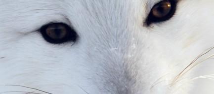 白い狐 ホッキョクギツネ iPhone6壁紙
