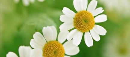 かわいい白い花 iPhone6壁紙