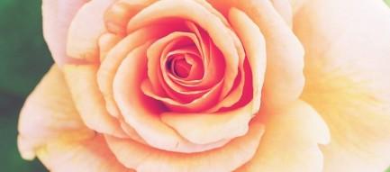 淡いピンクローズ iPhone6壁紙