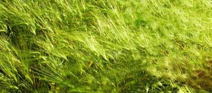 緑の稲穂 iPhone6壁紙