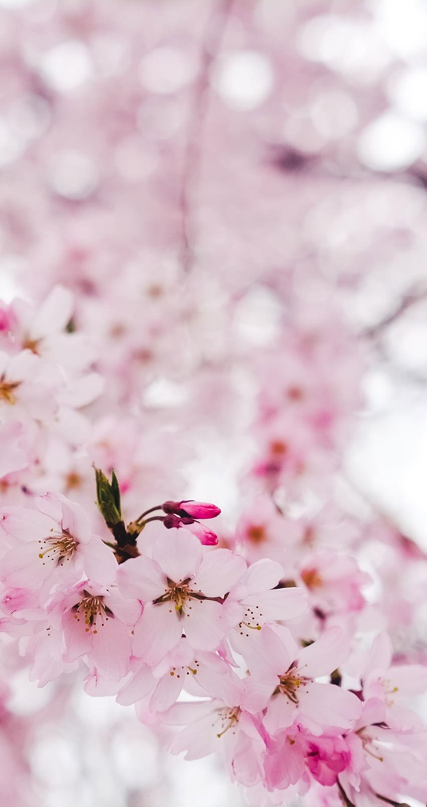 かわいいサクラの花 iPhone6壁紙