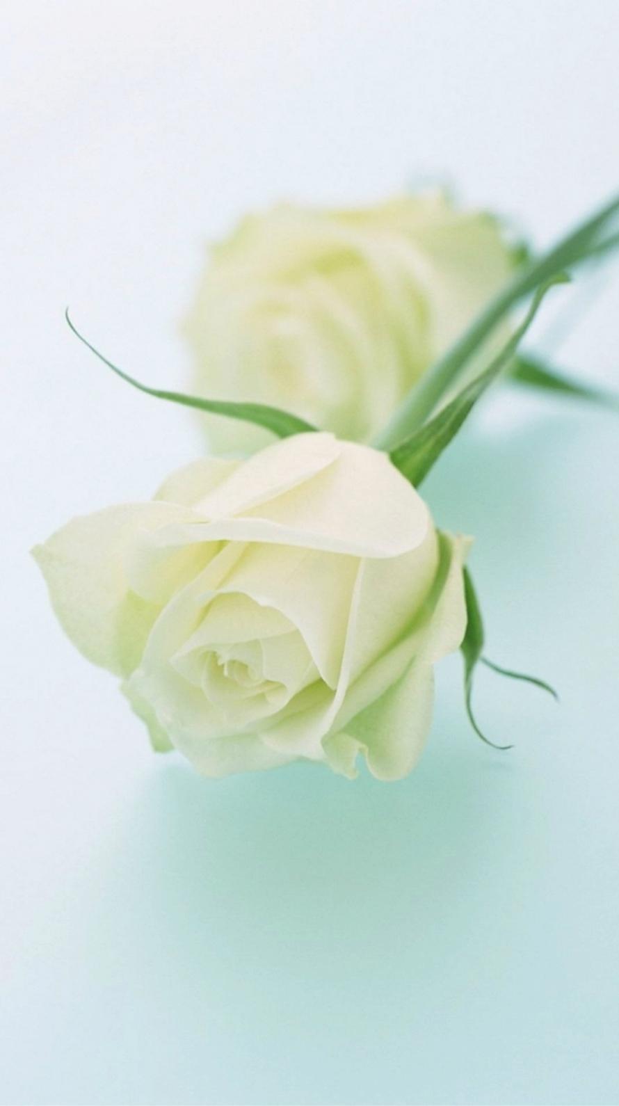 白い薔薇 iPhone6壁紙