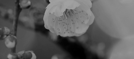 アップルの花 モノクロ iPhone6壁紙
