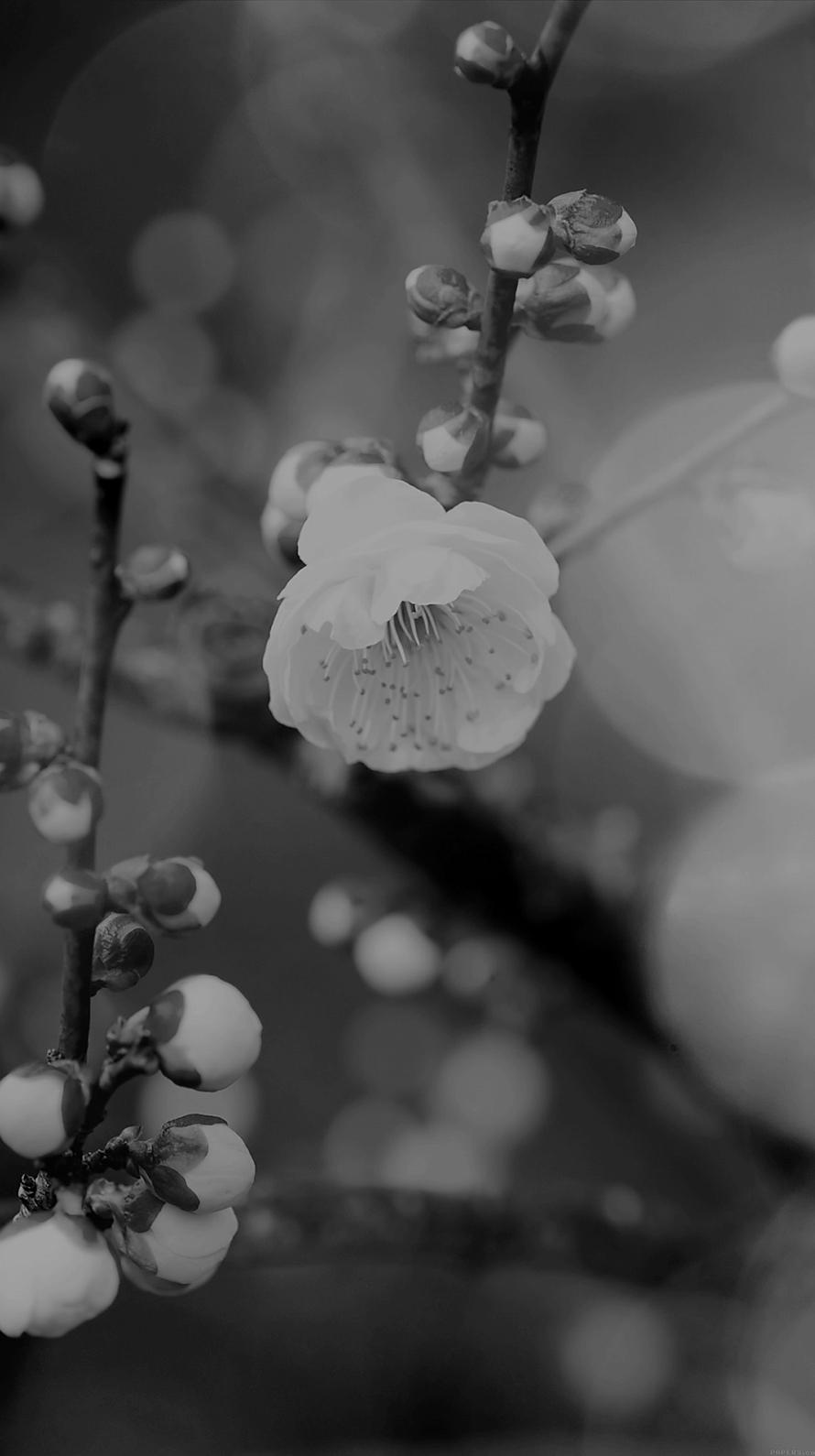 アップルの花 モノクロ Iphone6壁紙 Wallpaperbox