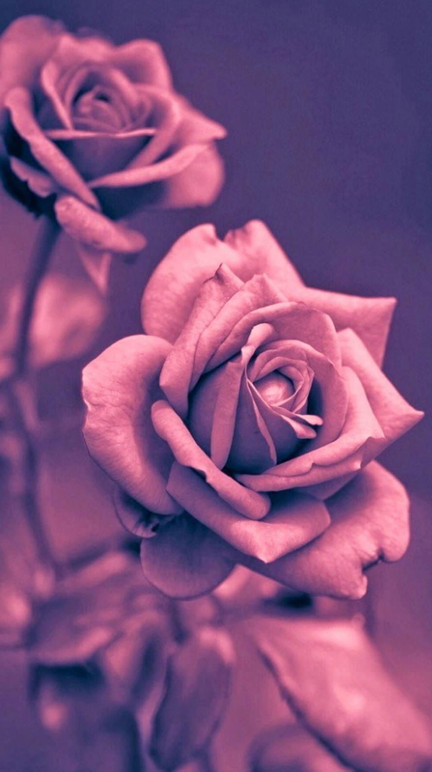 綺麗な赤い薔薇 iPhone6壁紙