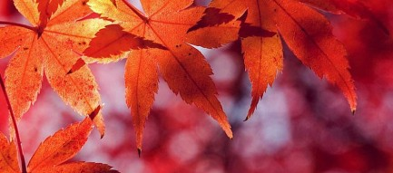 Beautiful Red Leaf iPhone6壁紙