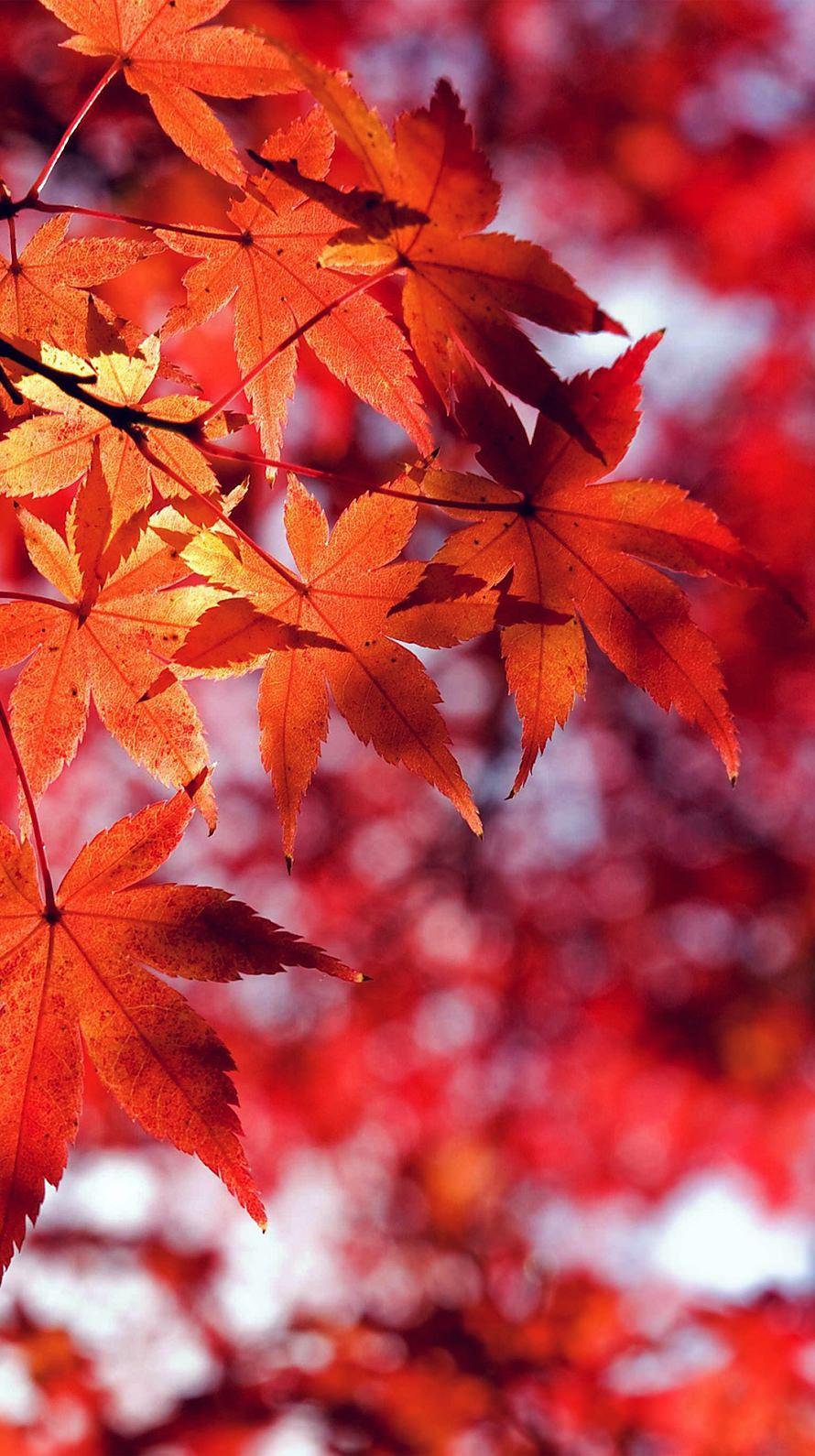 Beautiful Red Leaf iPhone6壁紙