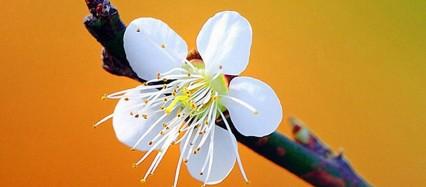 かわいい白の梅の花 iPhone6壁紙