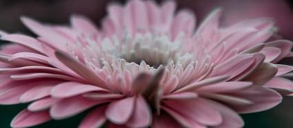 1輪の綺麗なピンクの花 iPhone6壁紙