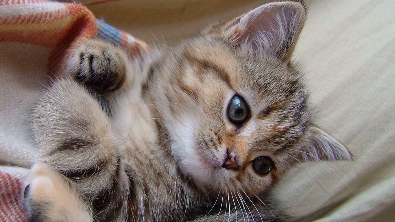 猫の壁紙 1366 768 1 スマホ Pc用壁紙 Wallpaper Box