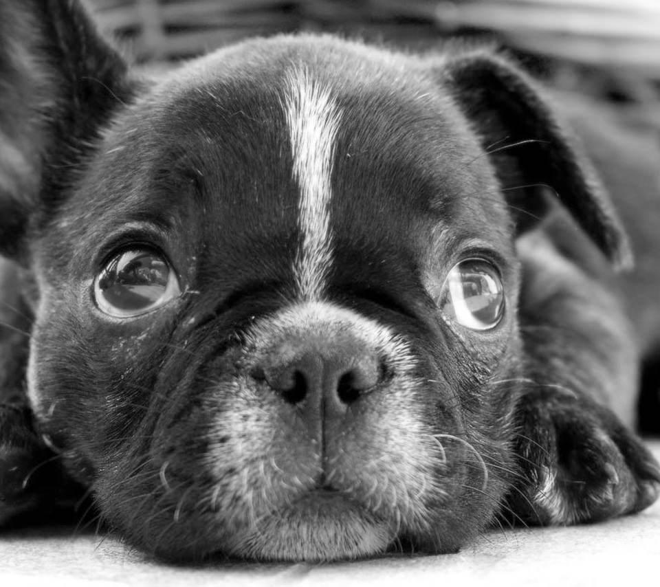 かわいい犬 スマホ用壁紙(Android用/960×854)