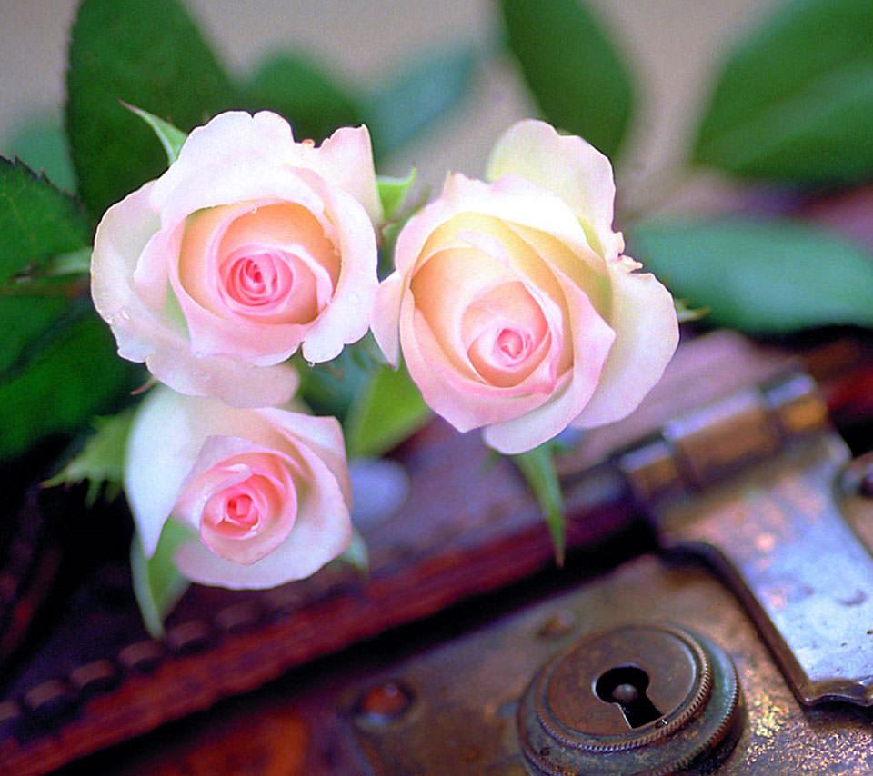 ピンクの綺麗な薔薇 Androidスマホ用壁紙 Wallpaperbox