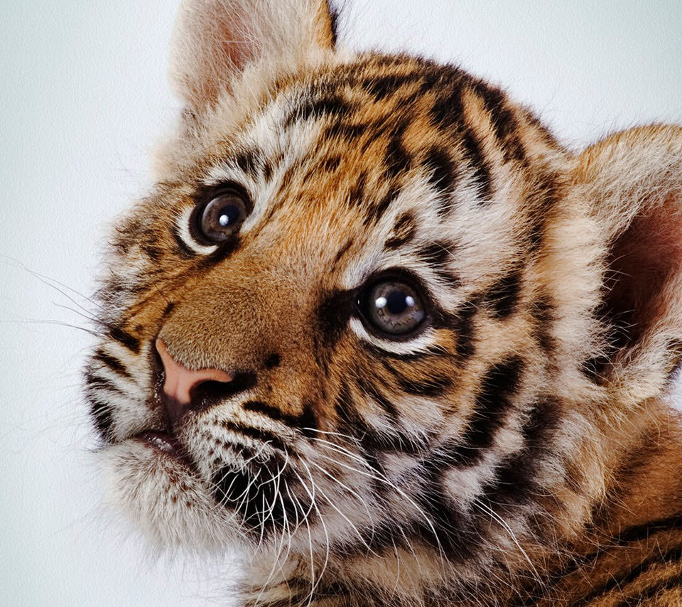 虎の赤ちゃん Androidスマホ用壁紙 Wallpaperbox