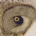 横から見たフクロウ iPhone6壁紙