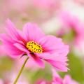 一輪のピンクの花 Android壁紙
