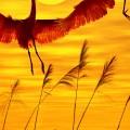 2羽のタンチョウ iPhone6 壁紙