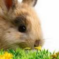 黄色い花とウサギ iPhone6壁紙