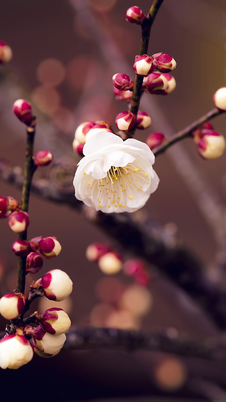梅の花 iPhone6壁紙