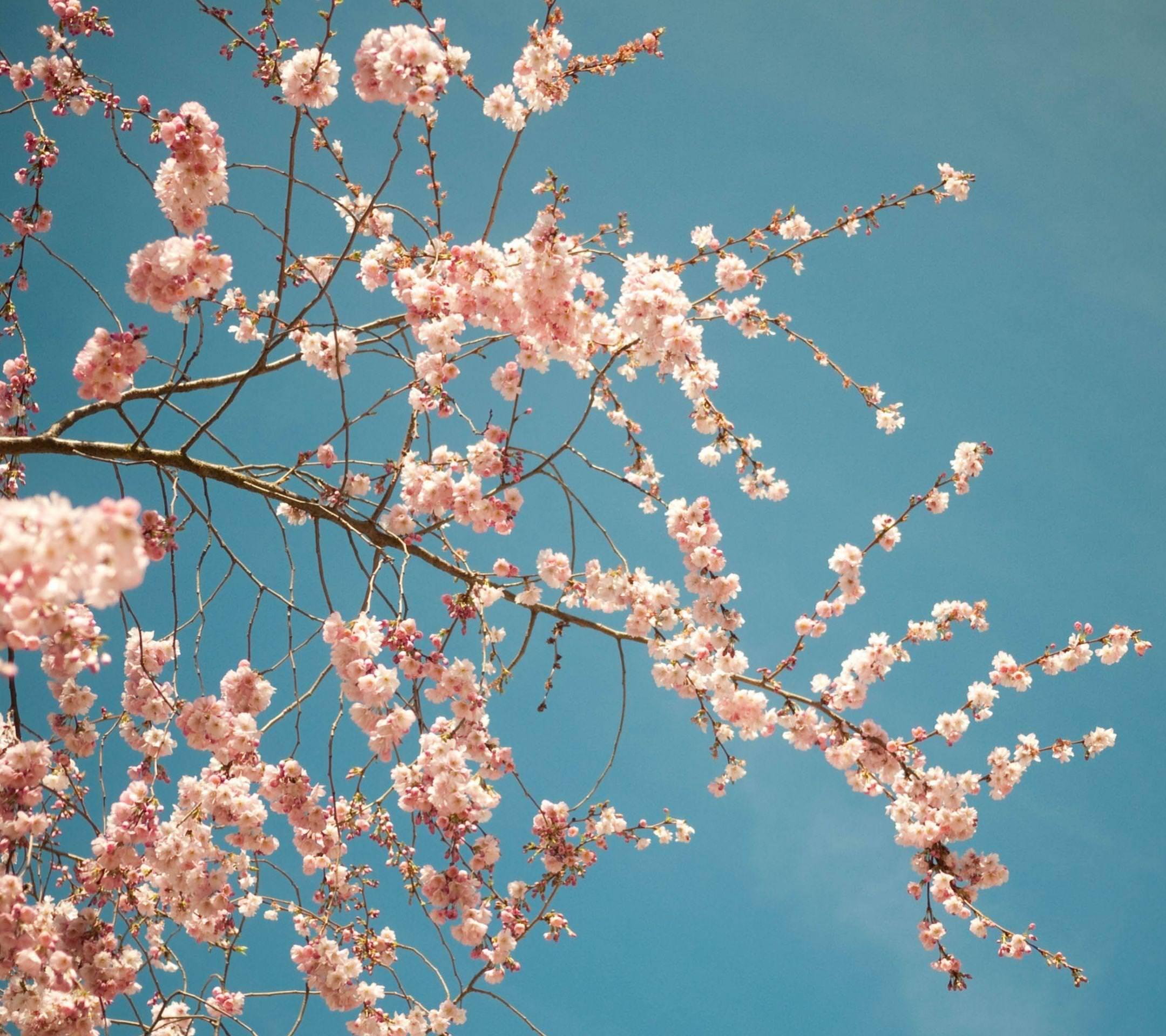 ピンクのかわいい花 Android壁紙