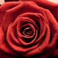Red Rose iPhone6壁紙