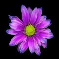 ピンクと紫の美麗な花 iPhone6壁紙