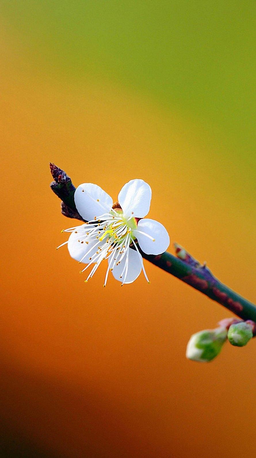かわいい白の梅の花 Iphone6壁紙 Wallpaperbox
